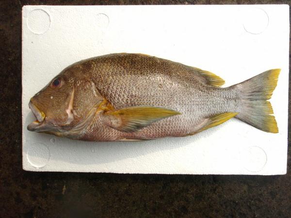 F海雞母笛鯛 (640x480).jpg