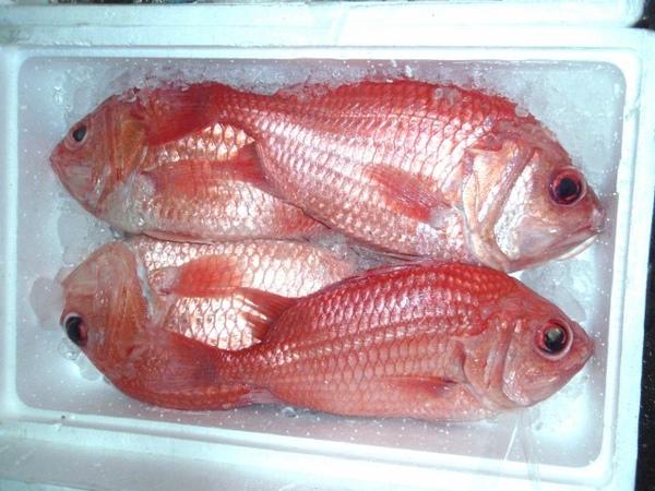 F鳳梨魚 (640x480).jpg