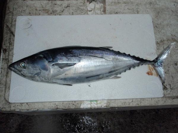 F鰹魚 (640x480).jpg