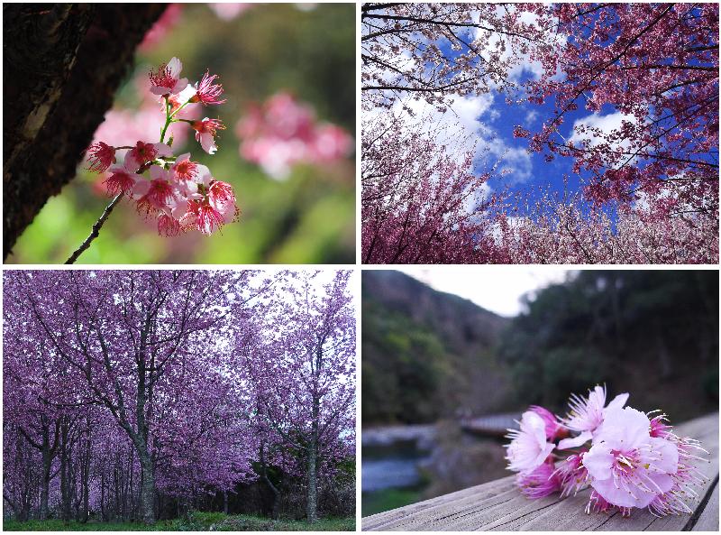 20120222櫻花