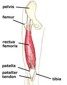 rectus-femoris.jpg