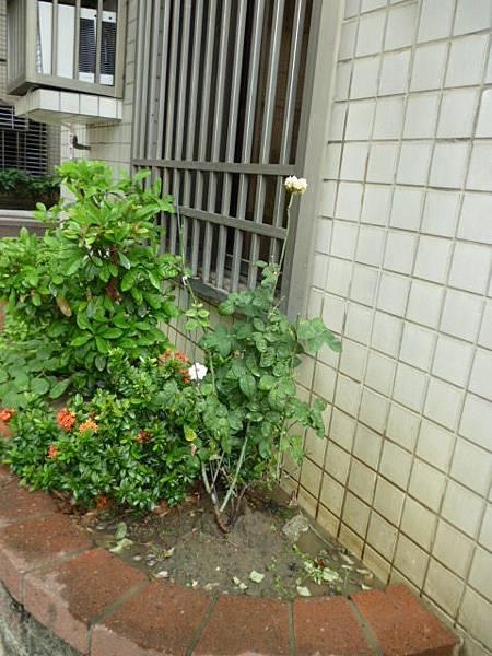 堅強的玫瑰。大樓花園一角