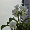 芳晚(緬梔)。向上花市