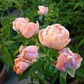 玫瑰的甜美。國光花市