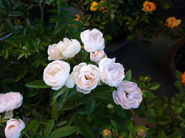 玫瑰的甜美之二。國光花市