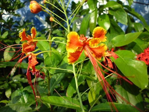不知名的蝶翼(金鳳花、紅蝴蝶)。國光花市