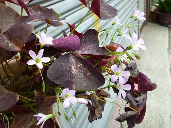 紫色幸運草。忠明南路某民宅