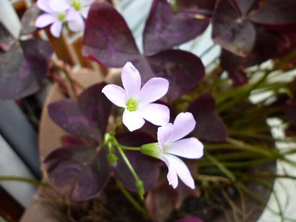 紫色幸運草近照。中明南路某民宅。