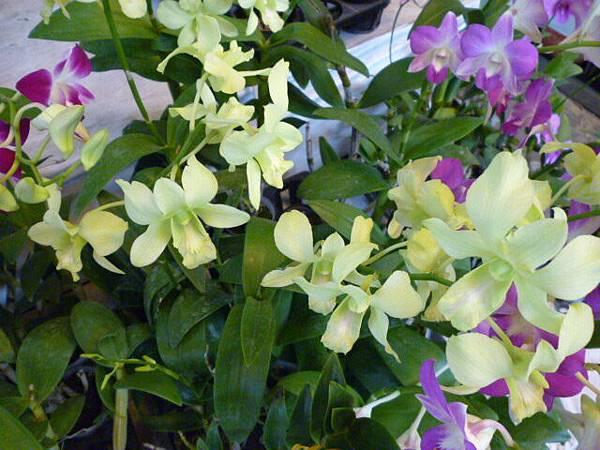 翠綠的蘭花之二。國光花市