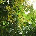 台灣欒樹的季節。台中文化中心附近