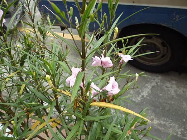 緣份很特殊的粉色翠盧莉。接近台中文化中心