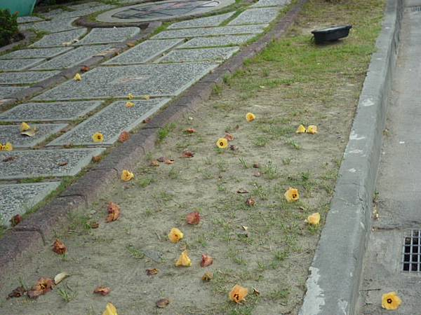 遍地黃花損(黃槿)。台中文化中心