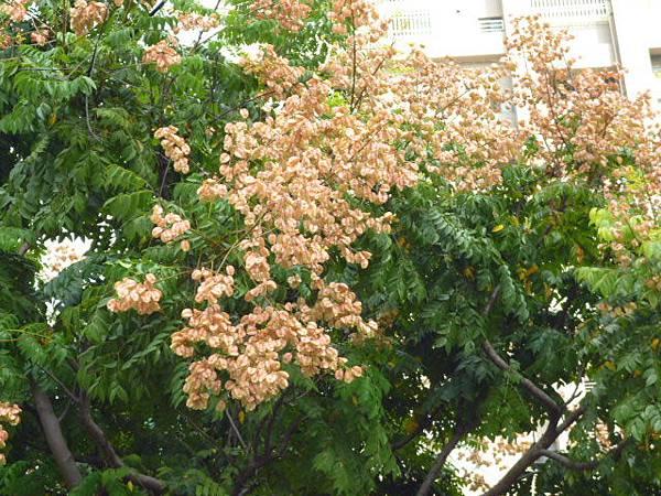 早紅的台灣欒樹。高工路旁