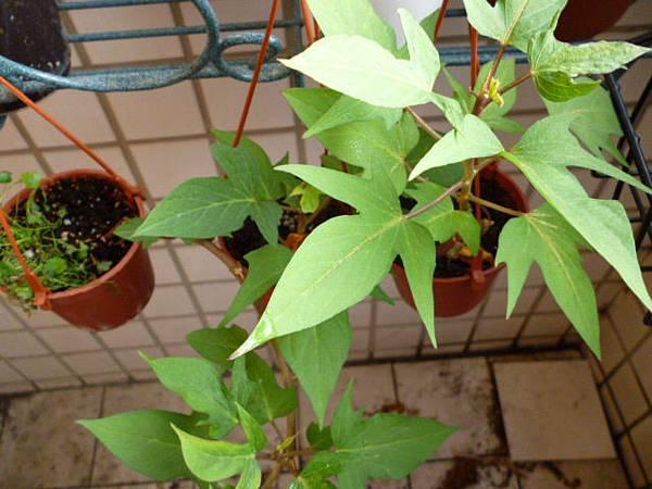 茂盛的藤…地瓜藤