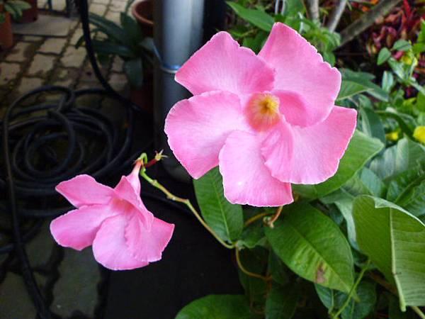 軟枝黃蟬粉紅版。向上花市