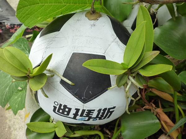 足球上的蘭花。國光花市附近