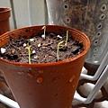 黑色日日春種子發芽