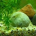加入水族箱的黑殼蝦