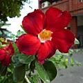 同一戶的沙漠玫瑰。高工路某巷