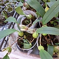 奇異的豆蘭。國光花市