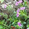 偽紫色滿天星。大樓庭園