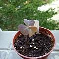 銀之舞Oxalis triangularis Marmer10/19