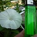 空心菜之花的對比大小