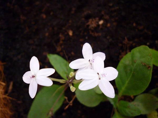 野地的花(多變擬美花)