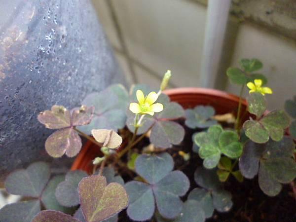 盛開的小黃花