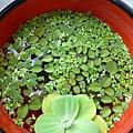 一碗公的漂浮植物(已預定)