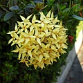 黃繡球。五權南路公園