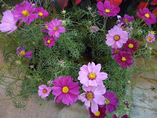 冬天的波斯菊。國光花市
