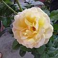 冬天的玫瑰之一。國光花市