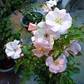 玫瑰的季節之一。國光花市