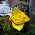 玫瑰的季節之三。國光花市