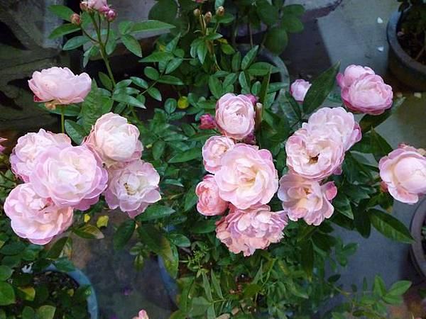 玫瑰的季節之二。國光花市