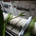 小野貓的花苞。