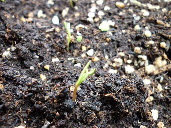 大波斯菊發芽。
