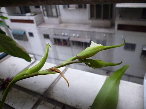小野貓蘭的花芽。