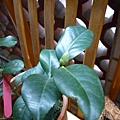 茶花花蕾近照。