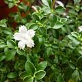 戰利品之一。小白花(六月雪)