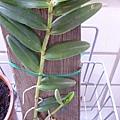 版植的雙色樹蘭。
