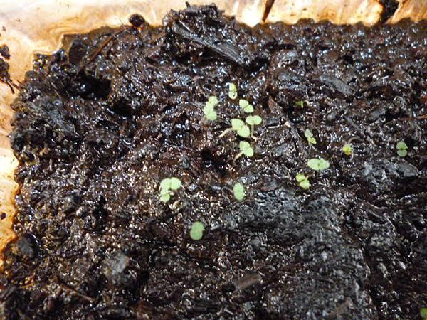 另一盆非豆芽。