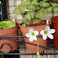 銀脈姊妹花兒。