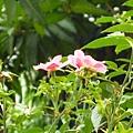 野玫瑰。五權南路附近。