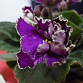 三重苦白邊蕾絲紫近照之二。
