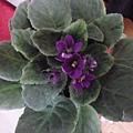 三重苦單瓣紫俯瞰。