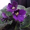 三重苦單瓣紫近照。