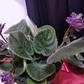 三重苦條紋紫側面。