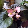 四季秋海棠,粉紅。